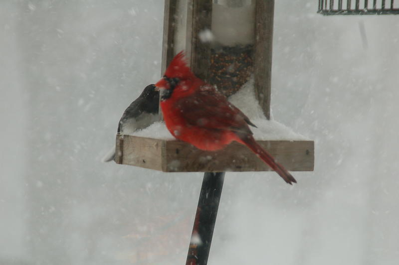 A cardinal takes refuge from the blowing snow in Durham