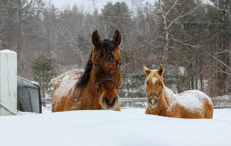 Horses in the snow in Thornton