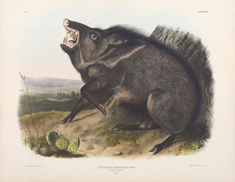 John James Audubon, Collared Peccary, 1845-48, Hand-colored lithograph.