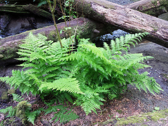 Lady fern.