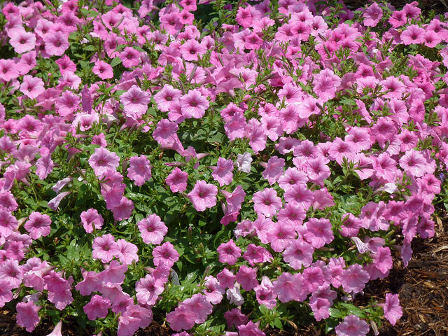 Supertunias And Other Annual Flower Ideas For New Hampshire Garden Gifts