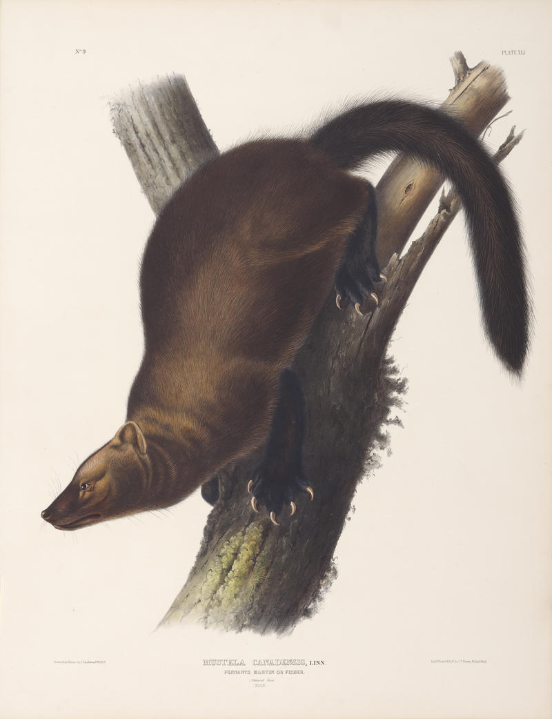 Original John James Audubon print of the fisher.