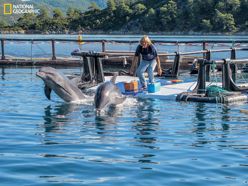 Lead trainer Jeff Foster sends Tom and Misha on a high-energy training run. Captive dolphins get out of shape. Instead of hunting and swimming underwater, they spend almost all of their time at or near the surface.