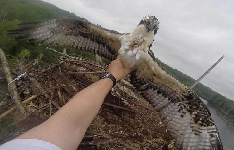 Rob Bierregaard carefully removes the snared osprey from the nest to tag it and fit it with a satellite tracker.