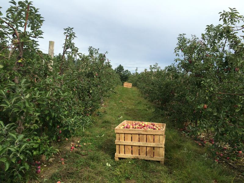 Crates left behind by an italian apple harvesting machine at Brookdale Farm in Hollis, NH.