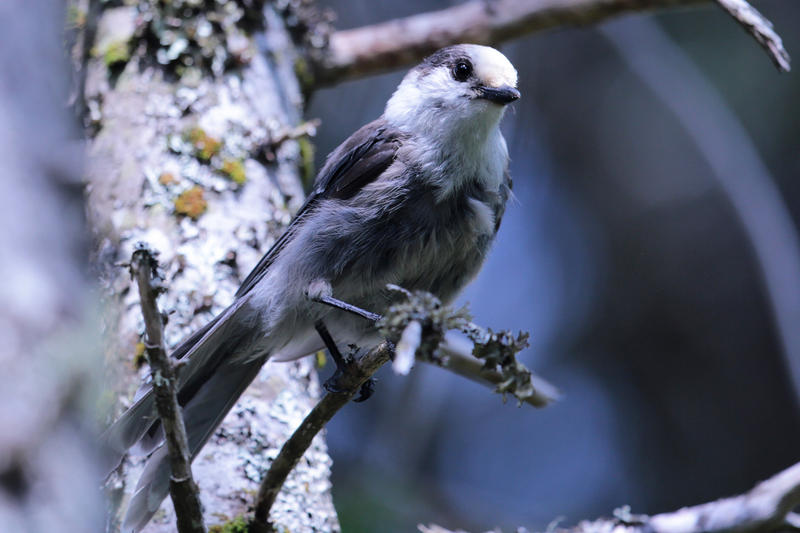 Gray jay, a scatter hoarder