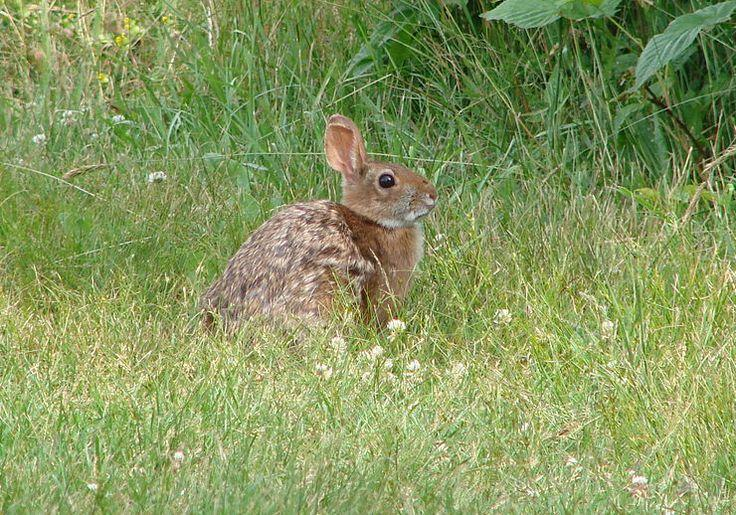 The New England cottontail is found in Maine, New Hampshire, Massachusetts, Rhode Island