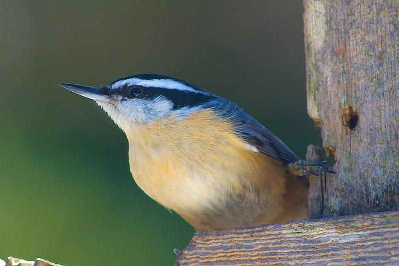 Red-breasted nuthatch - a scatter hoarder