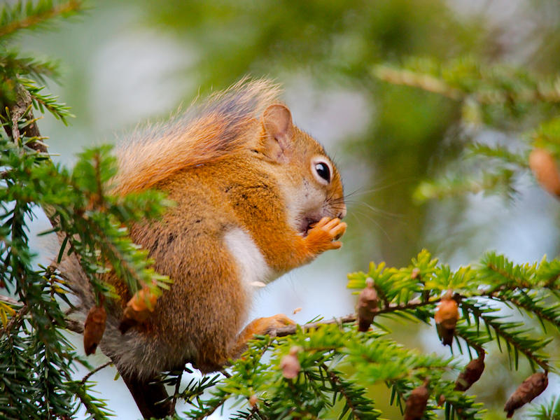 Red squirrel - NOT a scatter hoarder