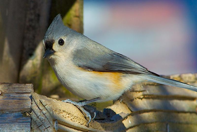 Tufted titmouse - a scatter hoarder