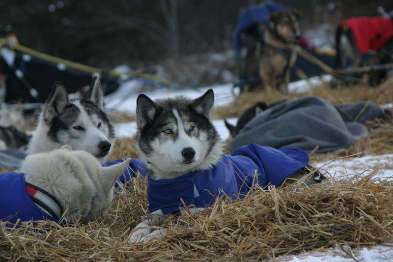 Dogs take a rest during the mandatory break between races.