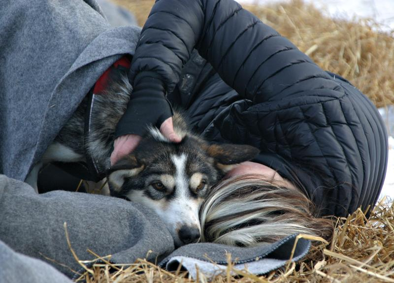 One musher plopped down in the straw to persuade one of her dogs to rest.