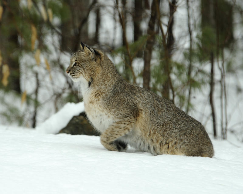 Adult male bobcat in Bow, NH; photo courtesy of Diane Lowe