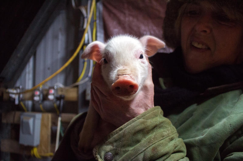 Loudon farmer Carole Soule holds up Pink the piglet on Feb. 15, the day after she was born.