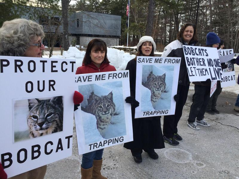 Friends of New Hampshire's bobcats won't have to worry about hunting and trapping, after all.