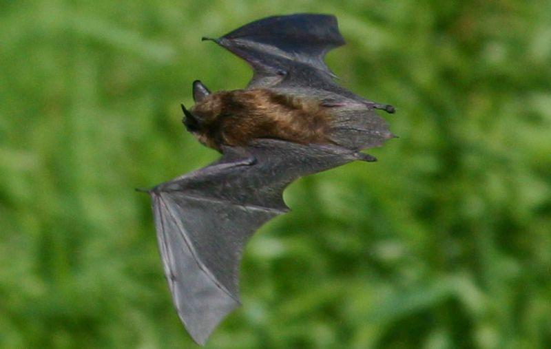 Little brown bat.
