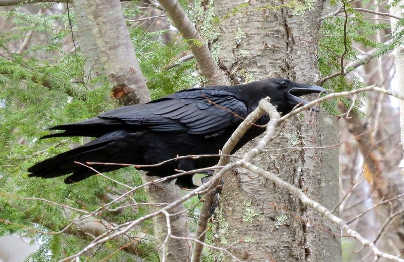 The common raven.