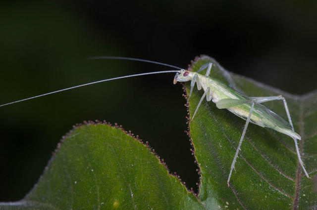 The snowy tree cricket