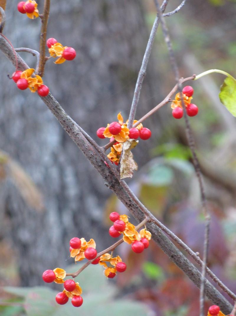 Invasive Oriental Bittersweet