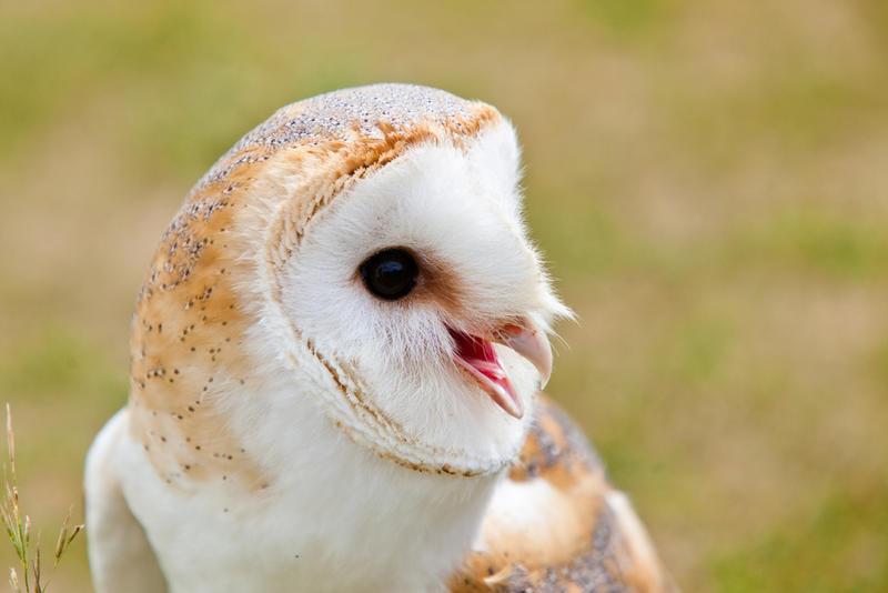 A superb owl