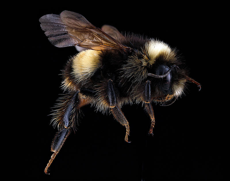 In the national forest, scientists found a relatively high abundance of the yellow-banded bumble bee (Bombus terricola), a species listed by U.S. Fish and Wildlife as a species of greatest conservation need.