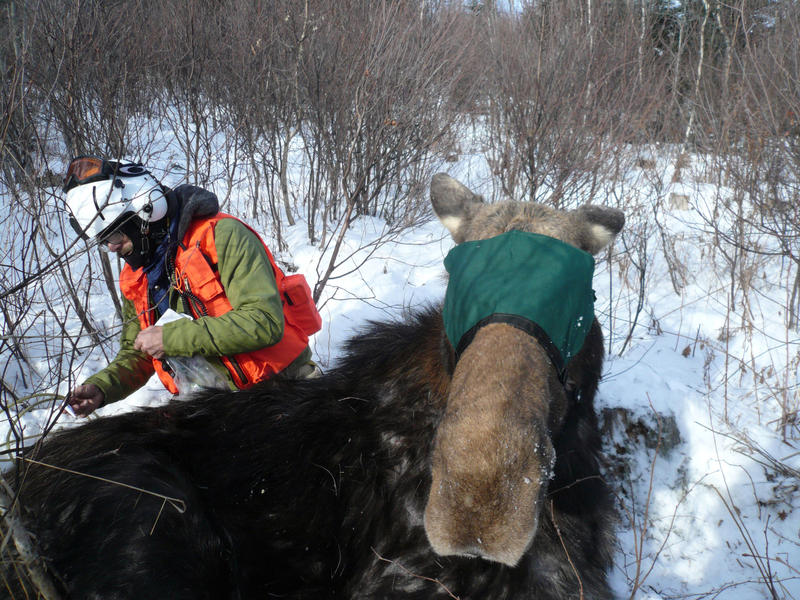 New Hampshire moose being collared in 2014 for a study of the impact of winter ticks and other health threats.