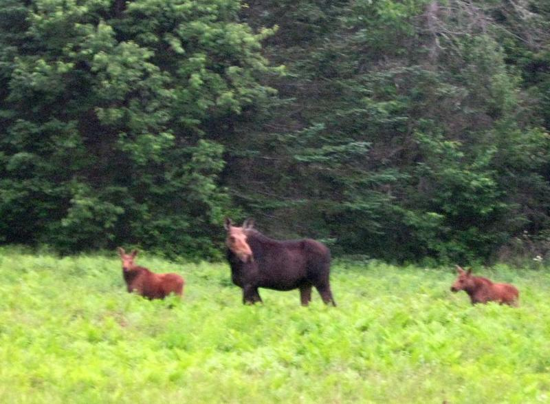 Here's a picture of a female moose and 2 calves from the back field of a listener in Etna, NH (about 5 years ago).