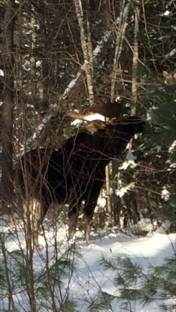 A Christmas morning photo of a moose by a listener in Melvin Village, N.H..