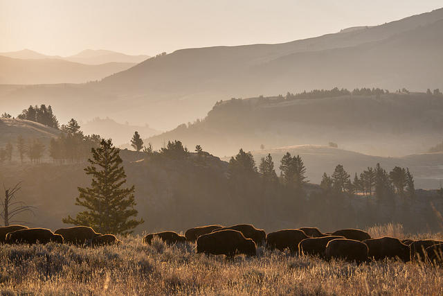 Bison herd in Lamar Valley