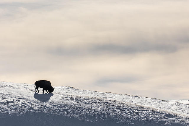 Lone Bison silhouette in Hayden Valley
