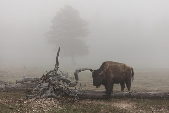 Bison scratching on a foggy morning at Lower Geyser Basin.