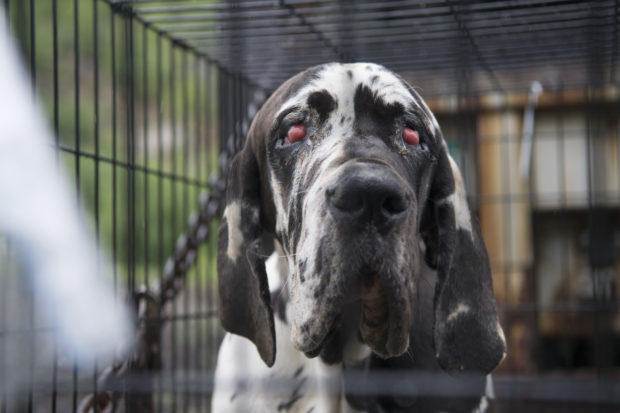 84 great danes rescued from alleged puppy mill in wolfeboro new
