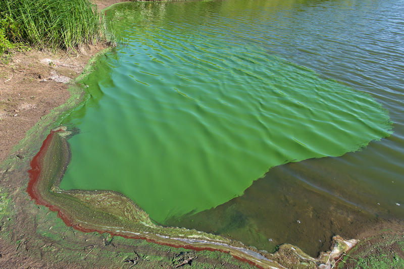 Cyanobacteria on a pond shore