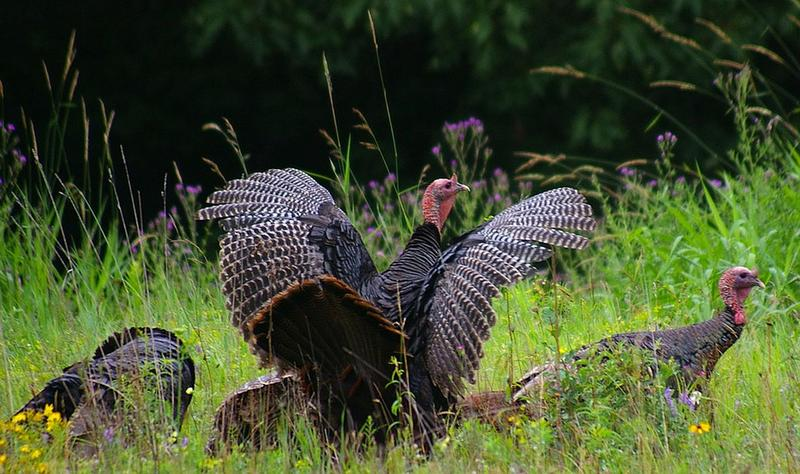 Wildlife officials are reminding residents about the state's citizen science turkey count.