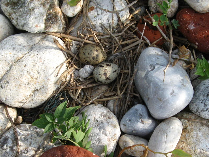 Common tern nest.