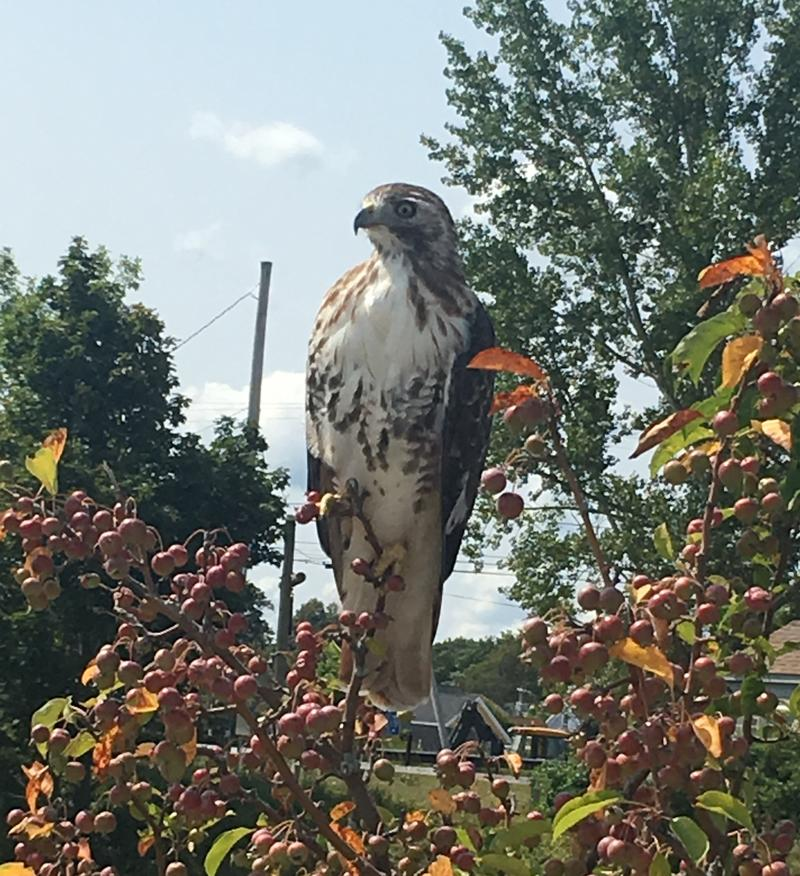 """A listener said: """"This guy just flew right up to me a couple weeks ago! Taken on Fourtree Island in Portsmouth!"""""""