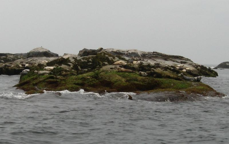 Seals lounging on Duck Island, Isle of Shoals.