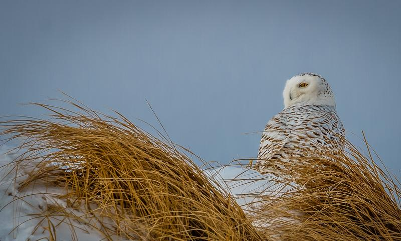 A snowy owl at Hampton Beach, after the crowds have left.