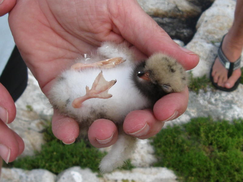 A Common Tern Chick.