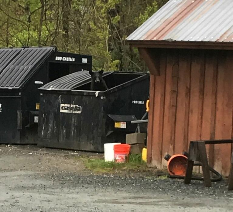 A bear sticks its head out of a dumpster in Hanover last spring.