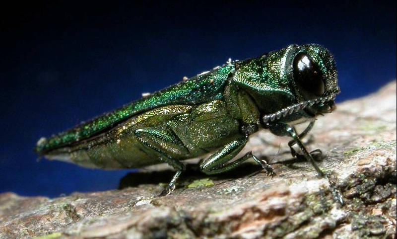 The Emerald Ash Borer has been diminishing New Hampshire's ash population since it arrived in the state around 2013.