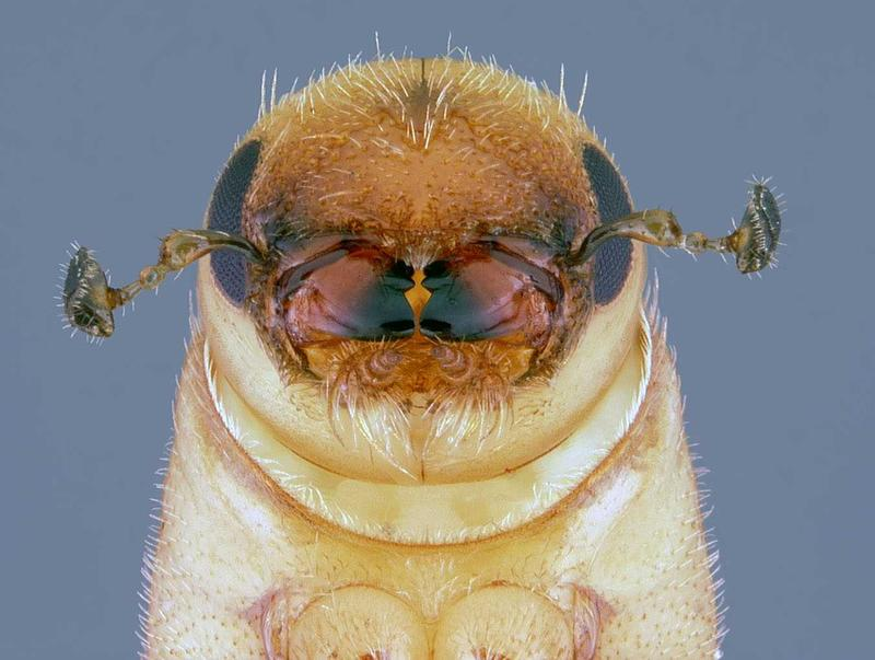 A southern pine beetle completing metamorphosis into an adult.