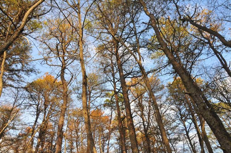 Dying Pitch pine in New Jersey a few weeks after the previously healthy trees were attacked by Southern Pine Beetles.