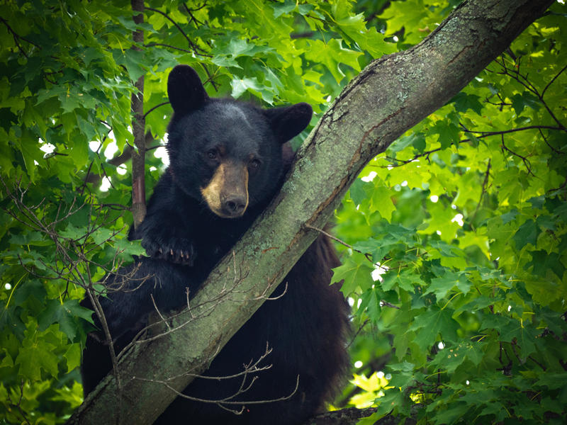 "A Different Bear: A bear up in a tree on the Dartmouth College campus in Hanover drew attention Saturday, just as a petition to save ""Mink,"" the area's more famous ursine resident, circulated online."