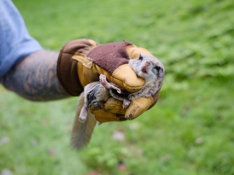 Scott Borthwick holds up a flying squirrel he retrieved from the bathroom of a small house in White River Junction, VT.