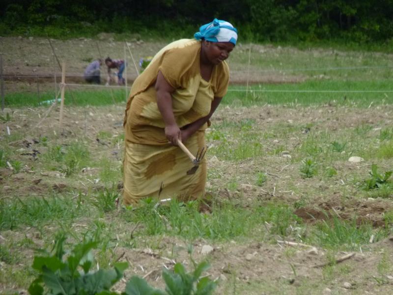 A farmer works her field in Dunbarton
