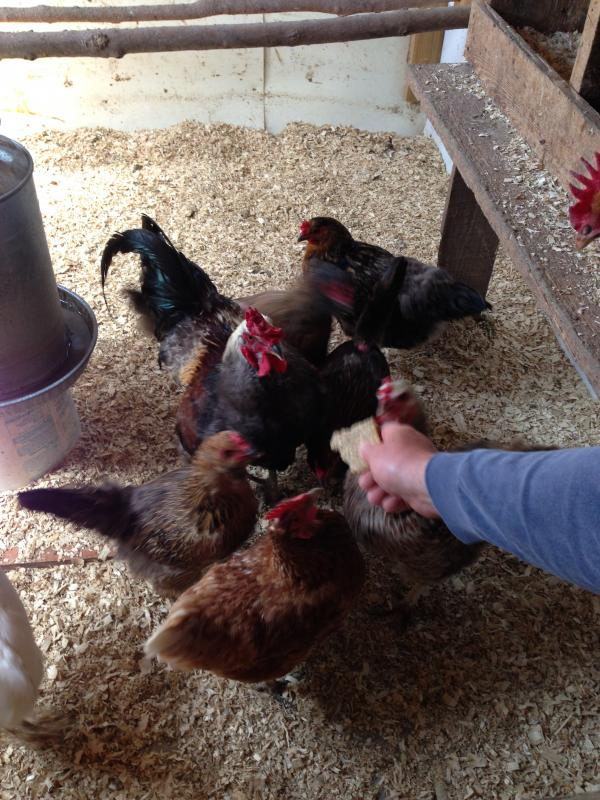 The raising of backyard chickens is on the rise, also giving rise to the selling of fresh eggs.