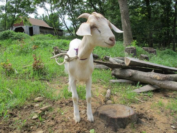 One of the (adorable) goats at Evandale Farm.