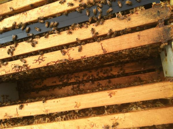 The three hives on the roof of the Courtyard Marriott are home to a breed of Italian bees, common to commercial and hobbyist beekeepers.