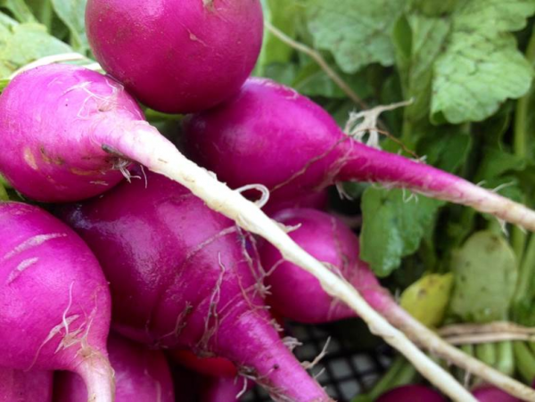 Pink heirloom radishes